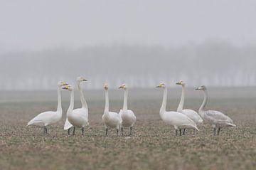 Singschwäne ( Cygnus cygnus ), kleine Gruppe, rastet an einem typischen nebeligen Morgen auf einem R von wunderbare Erde