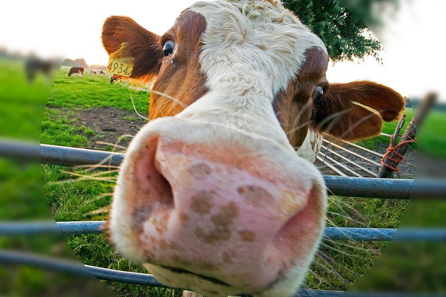 cow  van Dirk van Egmond