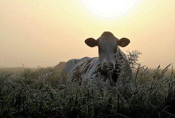 koe in hoog bloeiend gras, ochtendlicht, opkomende zon, mist, zachte warme kleuren van