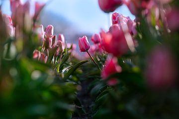 Hartnäckige Tulpe von Bart Verdijk
