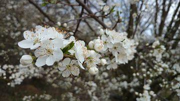 Witte appelbloesem von Fleur Ruygh