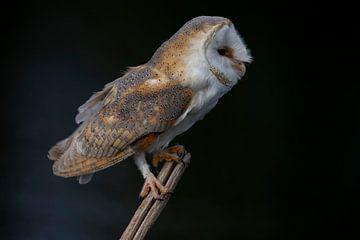 Chouette effraie, Tyto alba sur Gert Hilbink