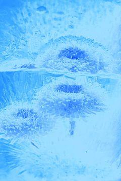 Bellis mit Spiegelung in Blau von Marc Heiligenstein