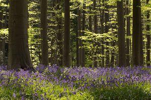 Wilde Hyacinten. van