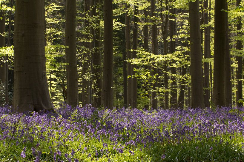 Wilde Hyacinten. van Patrick Brouwers