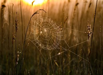 Spinnenweb in ochtendlicht van Alex Hiemstra