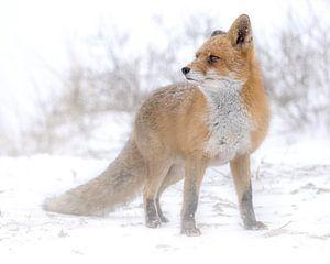 Vos in de sneeuw kijkt in de verte van Patrick van Bakkum
