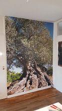 Klantfoto: Oude olijfboom in Spanje van Peter Schütte