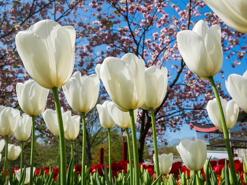 Witte tulpen van Peet Romijn