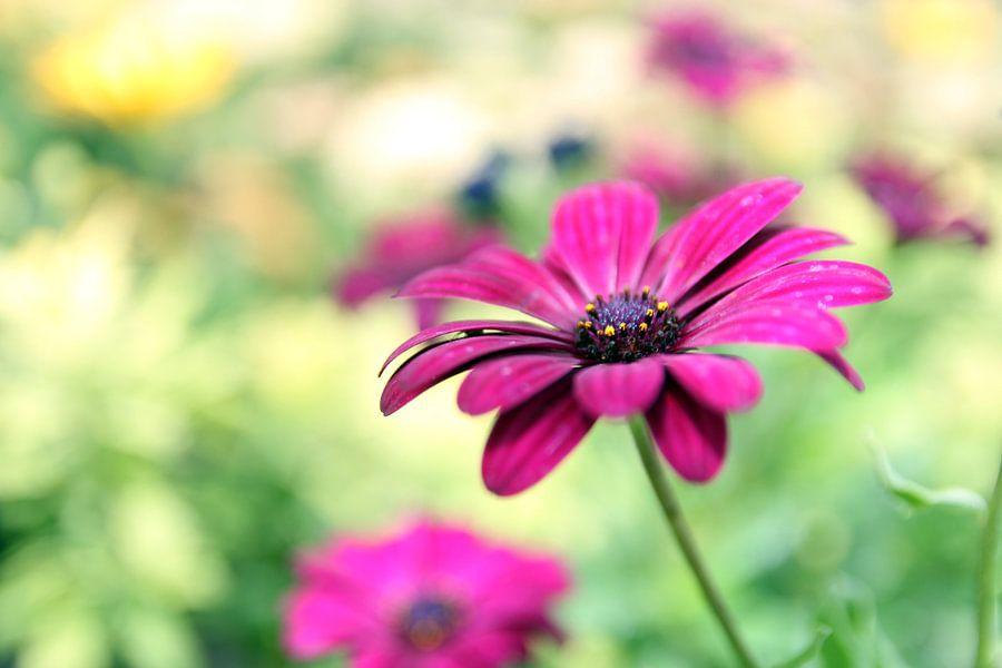 The Purple Daisy