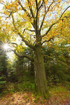 Beukenboom in herfsttooi van Ron van Elst