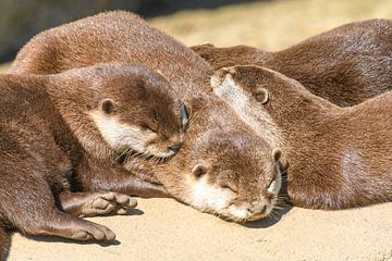 Zonnebadende otters op een rots van Sjoerd van der Wal