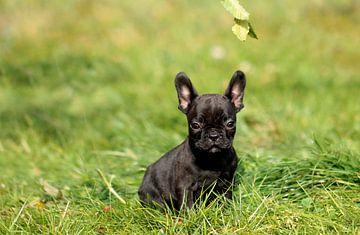 Französische Bulldogge 4 van Heike Hultsch