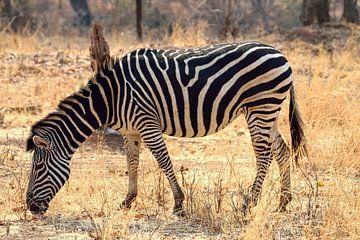 Zebra am Sambesi-Fluss von Merijn Loch
