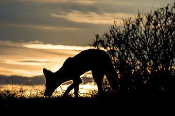 Zonsondergang vos van Yvonne van der Meij