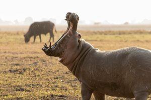 Gapend nijlpaard lijkt naar buffel te happen