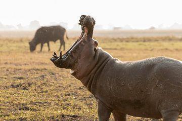 Gapend nijlpaard lijkt naar buffel te happen van Bas Ronteltap