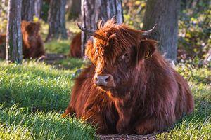 Ontspannen Schotse Hooglander