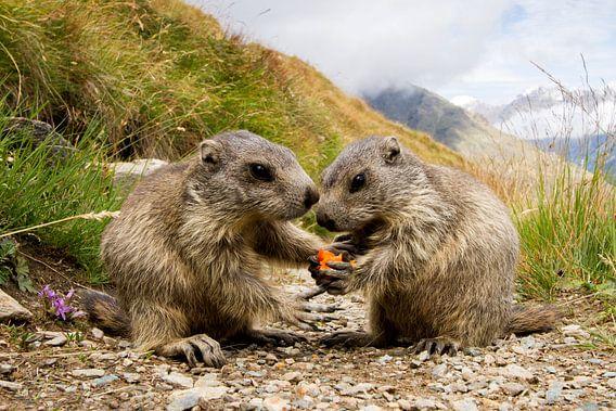 Marmotjes in de Pyreneeën eten samen een woteltje van Paul Wendels