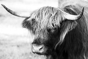 Portrait en noir et blanc d'une vache Highlander écossaise / boeuf
