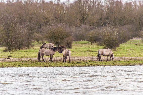 Konikpaarden aan de oever