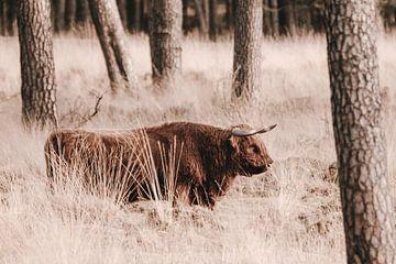 Schotse hooglander in het Deelerwoud op de Veluwe van Melissa Peltenburg