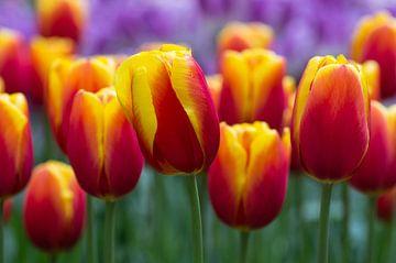 Vlammende tulpen sur Karen Havenaar