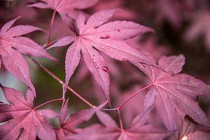 Close-up van gekleurde esdoornbladeren met regendruppel