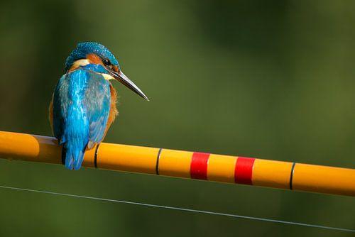 IJsvogel - De visser