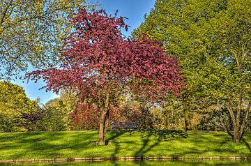 Lila Kirscheblüten im Park von