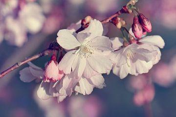 Kirschblüte von Violetta Honkisz