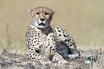 Gepard von Angelika Stern