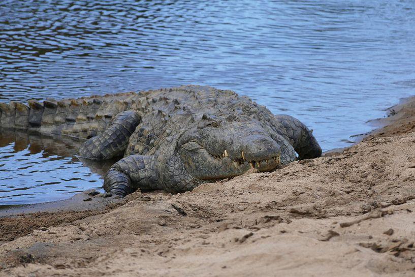 Krokodil van Peter Polling