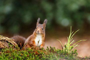 Écureuil roux sur