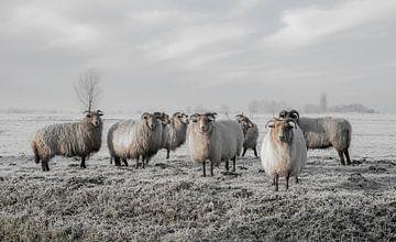 Moutons dans le polder sur