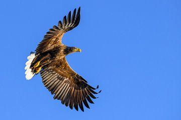 Pygargue à queue blanche ou aigle de mer (Haliaeetus albicilla) chassant dans le ciel sur Sjoerd van der Wal
