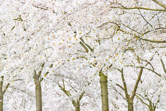 SakuraTrees van Dalex Photography