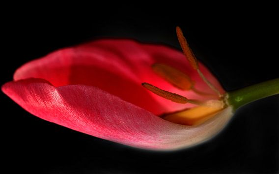 Tulpe in der waage van Rosi Lorz