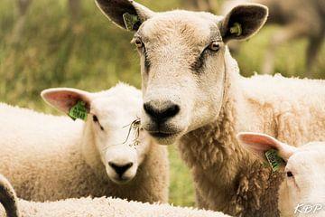 Schafe von Kyra de Putter