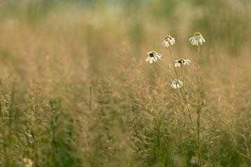 margrieten in 't veld (2) van P Leydekkers - van Impelen