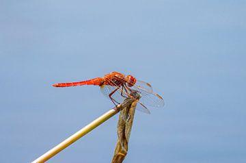 Rode Libelle Okavango Delta van Merijn Loch