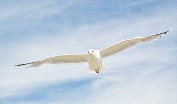 Meeuw Vleugels Gespreid van DoDiLa Foto's
