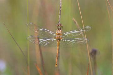 Dieser Libelle trocknet immer noch an einem Grashalm von Eric Wander