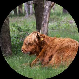 Schotse Hooglander liggend in het gras van MDRN HOME