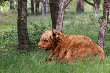 Highlander écossais couché dans l'herbe