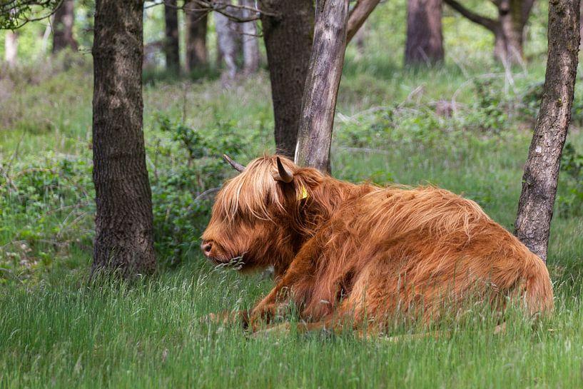 Schottischer Highlander im Gras liegend von MDRN HOME