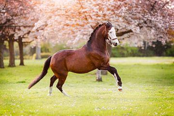 Galopperend paard onder de bloesembomen van Vera Sijpkes