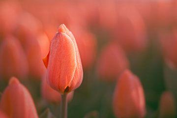 Tulpen in der Morgensonne von Harmen Mol