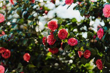 Rosen von Myrthe Vlasveld