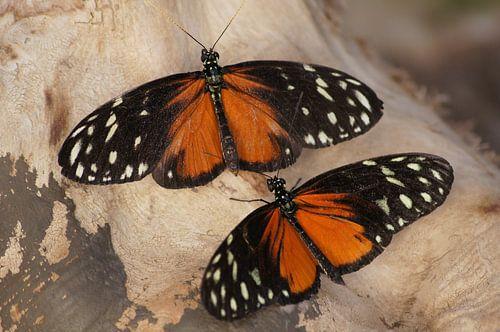 Monarchvlinders van Ronald en Bart van Berkel